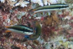 BD-150421-Maldives-7459-Thalassoma-amblycephalum-(Bleeker.-1856)-[Bluntheaded-wrasse].jpg